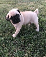 Ready Now -  Pug Puppy For Sale in San Diego, California