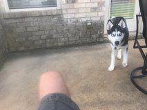 Due to a divorce, have to get rid of my baby's akc siberian husky and akc japanese chin in Columbus, Georgia