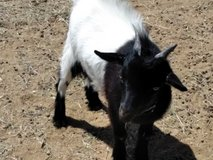 Angora-Nubian buckling goat in Yucca Valley, California