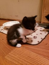 Free kittens i have 2 left 8 weeks old in Cleveland, Texas