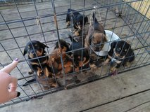 Beagle/ dachsund puppies in Leesville, Louisiana