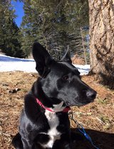 German Shepherd Lab mix in Alamogordo, New Mexico