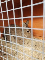male nutered bunny in Grafenwoehr, GE
