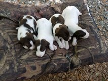 Red Oak Championship GSP's Ready for their new homes!!!! in Fort Benning, Georgia
