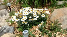 Shasta Daisies in Oswego, Illinois