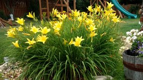 Beautiful Yellow Daylilies in Oswego, Illinois