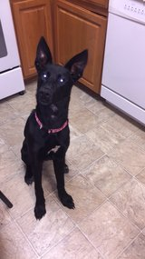 German Shepherd / Lab mix in Fort Campbell, Kentucky