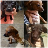 Chiweenie Mix Puppies in Barstow, California