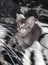 Male kitten in Fort Campbell, Kentucky