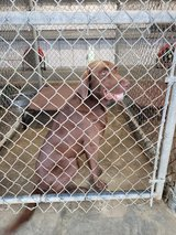 Need Dog Foster for 21 days. Save a life! All expenses covered by Rescue! in DeRidder, Louisiana
