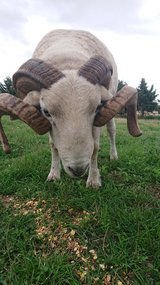 Whiltshire horned ram in Lakenheath, UK