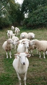 Whiltshire horned ewes in Lakenheath, UK