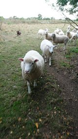 Texel, Dorset ewes in Lakenheath, UK