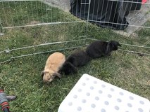 3 Male Lop Bunnies With Hutch, Accessories, And Everything You Need! in Baumholder, GE