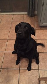 Black Lab in Camp Pendleton, California