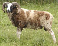 Strong, Virile male brown RAM SHEEP with BEAUTIFUL wool coat, NICHOLAS- $ 149 in Fort Lewis, Washington