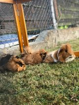 3 cute guinea pigs w/giant new cage on wheels in Ramstein, Germany