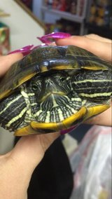 Red Eared Slider with 50 gal tank + more in Tinley Park, Illinois