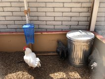 Roosters - 1 white, 2 black/gray in Vista, California