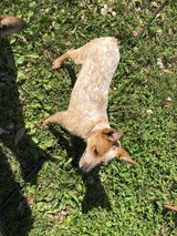 Red Heeler 3 months old in Fort Leonard Wood, Missouri