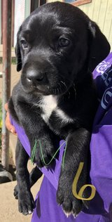 Puppies for sale pg 2 in Ruidoso, New Mexico