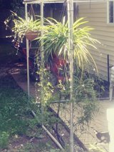 collosum aka Spider Plants Huge selection in St. Charles, Illinois