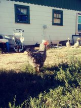 roosters in Las Cruces, New Mexico