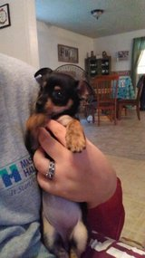 Female chiweenie in Leesville, Louisiana