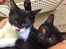 Sweet kittens are searching for a forever home. in Okinawa, Japan