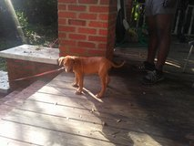 2 month old lab pit in Beaufort, South Carolina