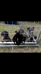 Puppies in Leesville, Louisiana