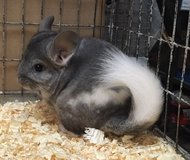 2-3 Month Old Extreme Mosaic Male Chinchilla in Chicago, Illinois