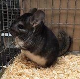 5 Month Old Standard Grey Female Chinchilla in Chicago, Illinois