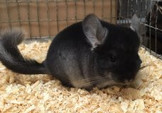 2.5 Month Old Black Velvet Male Chinchilla in Chicago, Illinois