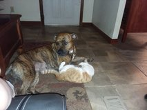Mastiff pit mix female 2 1/2 yrs old in Lawton, Oklahoma
