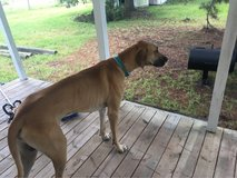 Found Great Dane in Fort Polk, Louisiana