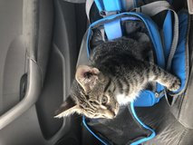 Three month old kitten in Fort Knox, Kentucky