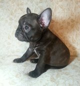 French Bulldog Puppies For Adoption in Stuttgart, GE