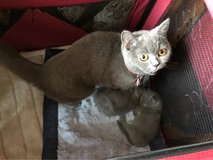 BSH Little baby boy looking for lovely forever home in Ramstein, Germany