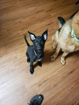 German shepherd pup in Lawton, Oklahoma
