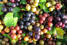 Muscadines in Warner Robins, Georgia
