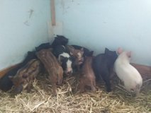 mini pigs in Fort Campbell, Kentucky