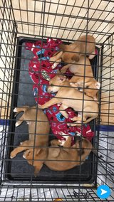Foster Family needed ASAP! Five Shep/Boxer 5-6 weeks old puppies. in DeRidder, Louisiana