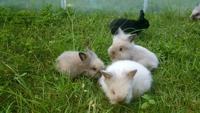 Lionhead Bunnies in Leesville, Louisiana