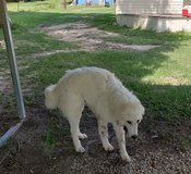 Male great pyrenees in Leesville, Louisiana