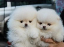 Good Looking Pomeranian Puppies for adoption .(317) 316-4692 in Leesville, Louisiana