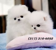 Toy-size and stander Pomeranian Puppies for Sale.(317) 316-4692 in Oklahoma City, Oklahoma