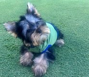 Amazing Yorkie Puppies in Bellaire, Texas