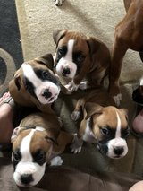 Full blooded  Boxer puppies in Camp Lejeune, North Carolina