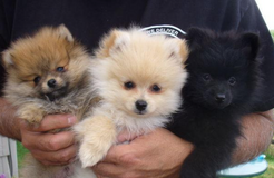Cute Pomeranian Puppies for Rehoming-(317) 316-4692 in Brockton, Massachusetts
